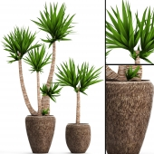 A collection of plants in pots. Yucca. 42