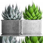 A collection of plants in pots. Agave. 43