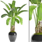 Banana palm in the pot 5