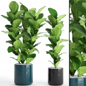 A collection of plants in pots. 61 ficus lyrata