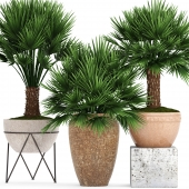 Collection of plants 70. Chamaerops