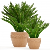 A collection of plants in pots. 71 Cycas