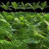 Set of ferns