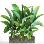 Collection of plants 85. Ravenala