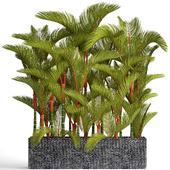 Collection of plants 89. Cyrtostachys renda