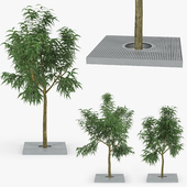 Tree Ива белая (лат. Salix alba)