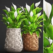 Коллекция растений 98. Spathiphyllum