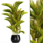 Dypsis lutescens - Дипсис желтоватый