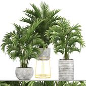 Коллекция растений 125. Howea