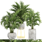 Collection of plants 125. Howea