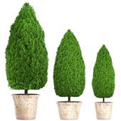 Коллекция растений 127. Cupressus.