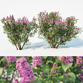 Lilac, Syringa vulgaris. 2 sizes