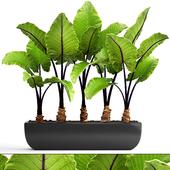 Collection of plants 143. Alocasia macrorrhiza.