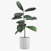 Pot plant 21 rubber tree