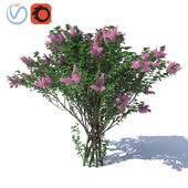 Lilac Lilac H = 3500 mm.