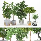 Ficus Set
