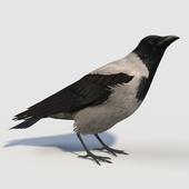 Hooded Crow (bird)