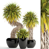 Collection of plants 151. Yucca Elata