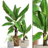Collection of plants 157. Banana palm