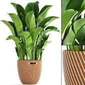 Banana palm 1