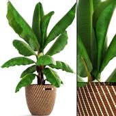 Banana palm 2