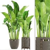 Collection of plants 161. Banana palm