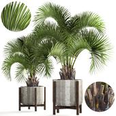 Collection of plants 165. Butia capitata