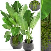 Collection of plants 171. Banana palm