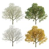 Apple Tree 2 Seasons