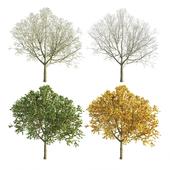 Apple Tree 1 Seasons