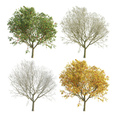 Apple Tree 4 Seasons