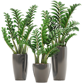 Collection of plants 192. Zamioculcas