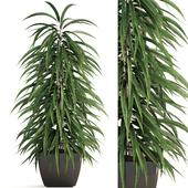 Ficus Alii 3