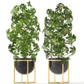 Коллекция растений 201. Schefflera