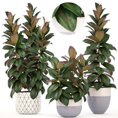 Коллекция растений 204. Ficus elastica
