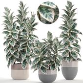 Коллекция растений 205. Ficus elastica