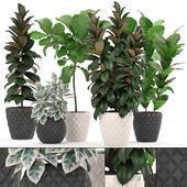 Коллекция растений 212. FICUS SET