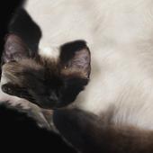 Texture-scan of a Siamese / Thai cat