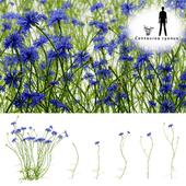 Cornflower blue flower | Centaurea cyanus