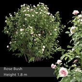 Роза кустарник #3