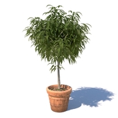 Young mango tree