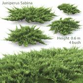 Juniperus Cossack # 2