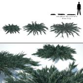 Можжевельник горизонтальный | Juniperus horizontalis Blue Chip