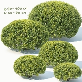 Buxus Sempervirens # 10 oval