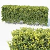 Buxus Sempervirens # 6 modular hedge H80cm