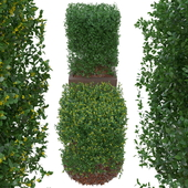 Boxwood bush in the form of a cube