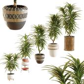 Collection of plants. Dracaena