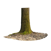 Acer Trunk with moss