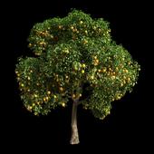 Orange Tree 15