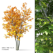 Maple (Acer platanoides) 11 meters